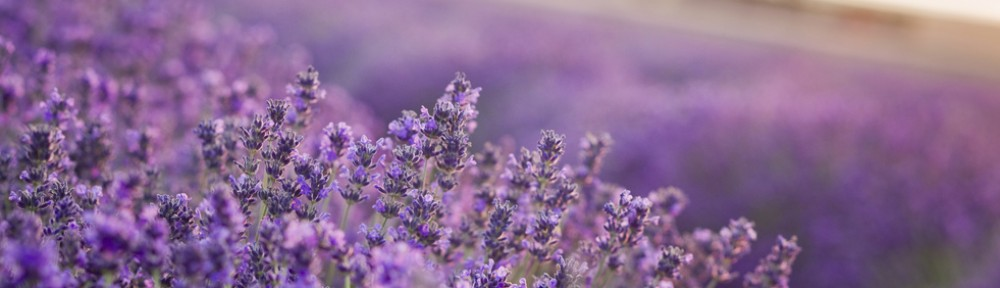 cropped-lavender2