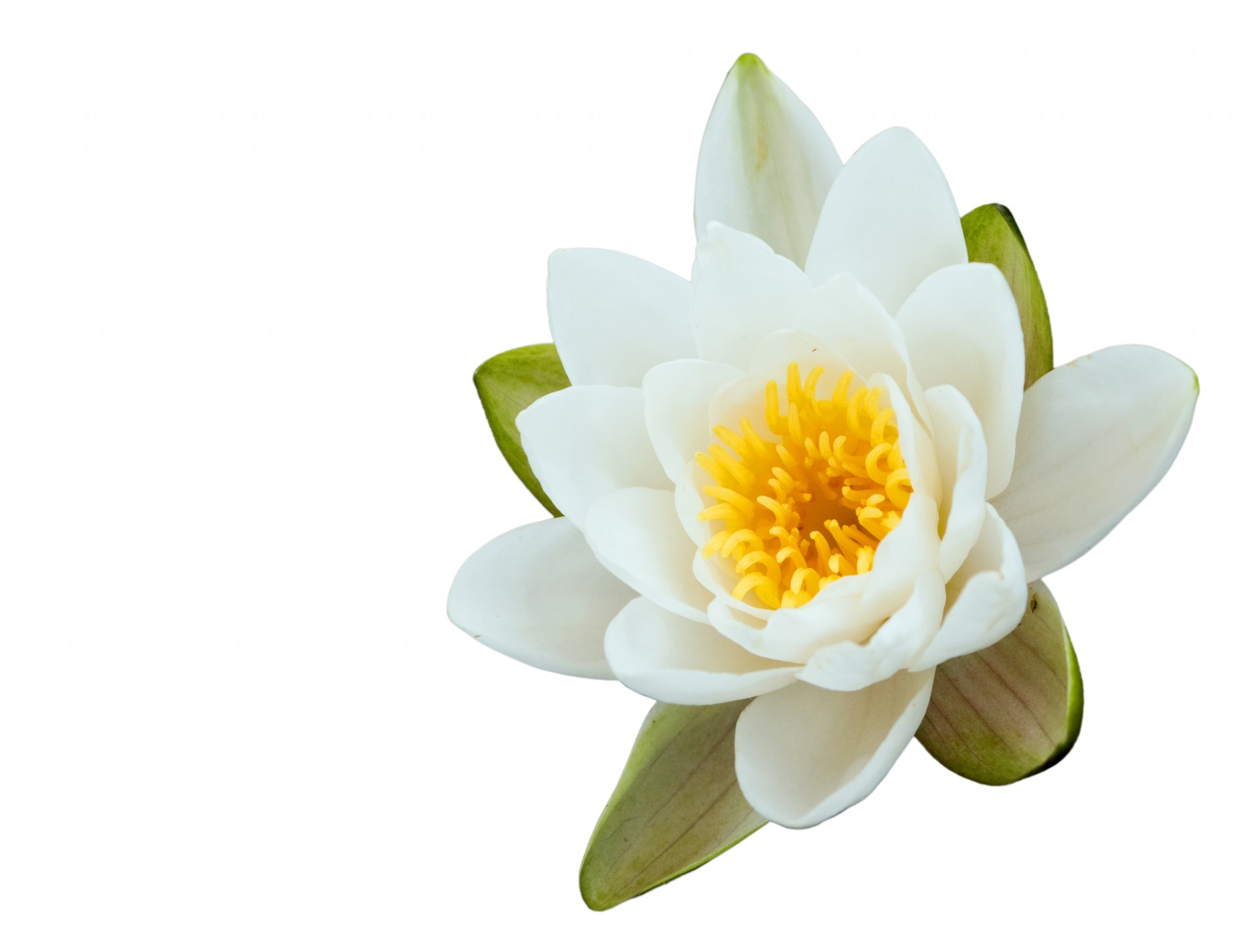 lotus-flower-on-white