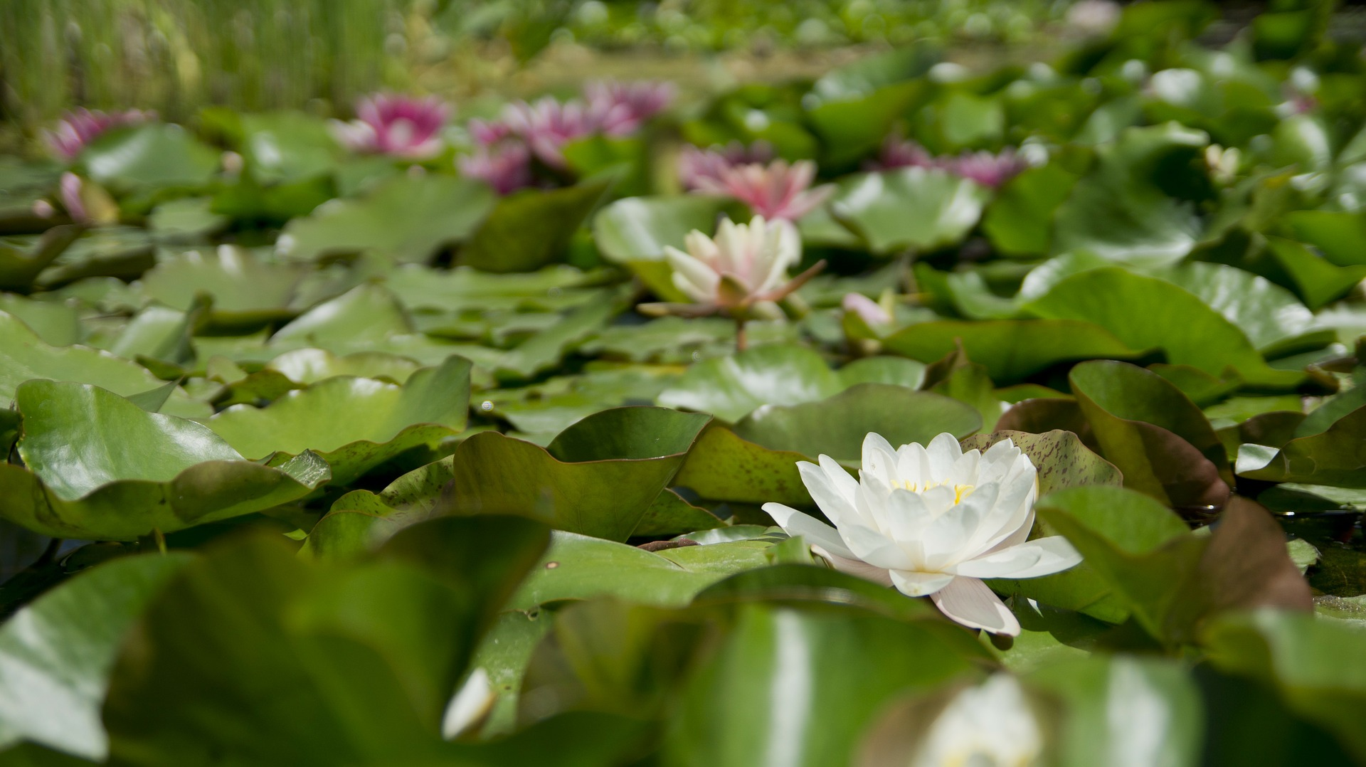 water-lily-175962_1920