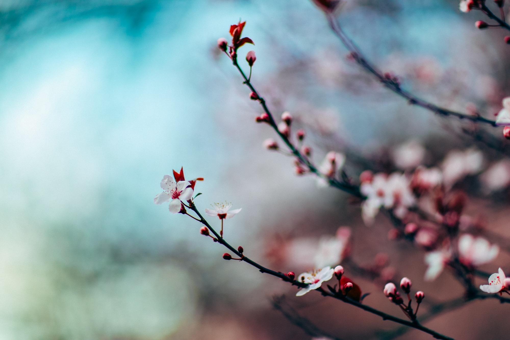 cherry-blossom-1209577