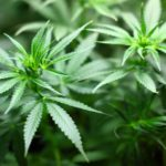Cannabis and Occupational Therapy